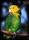 Amazon Parrot - CLICK HERE to ENTER !!!