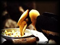 Hornbill eating from a plate